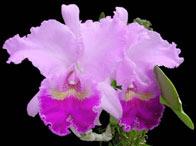 Symboles de la colombie caf embl mes orchid e condor arbre national meraudes - Symbole de l orchidee ...
